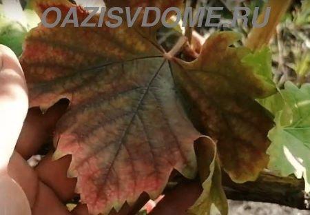 Почему у винограда начали краснеть листья и что делать