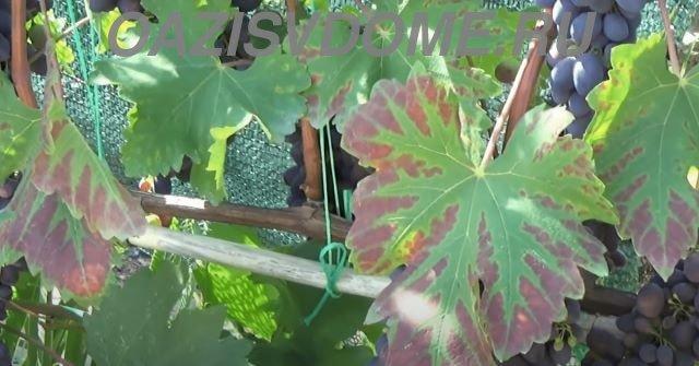Признак недостатка фосфора у винограда