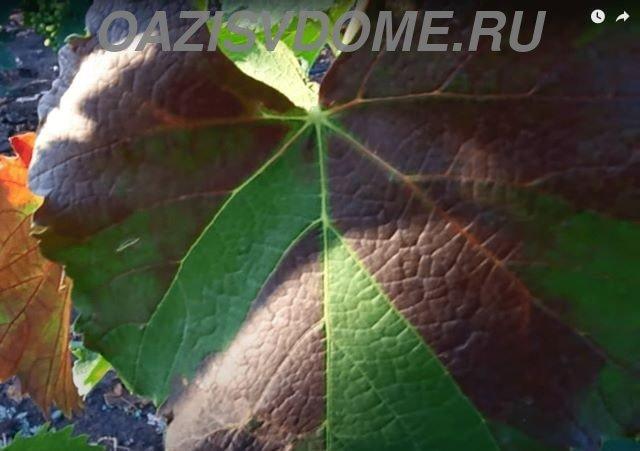 Листья винограда краснеют из-за поражения краснухой