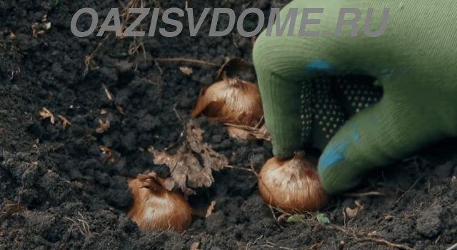 Посадка луковиц крокусов