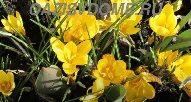 Желтые крокусы в цвету