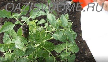 Сыворотка с йодом как подкормка для томатов и для обработки от фитофторы: пропорции, как опрыскивать и поливать