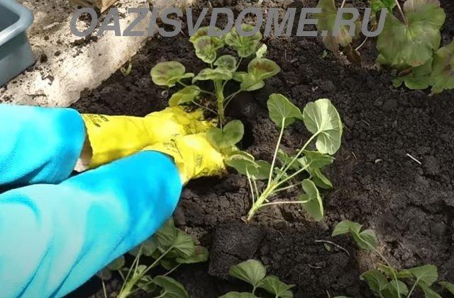 Высадка рассады пеларгонии в грунт