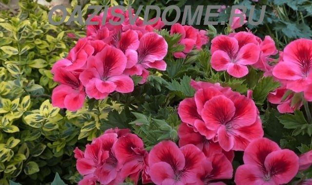 Цветущая садовая пеларгония