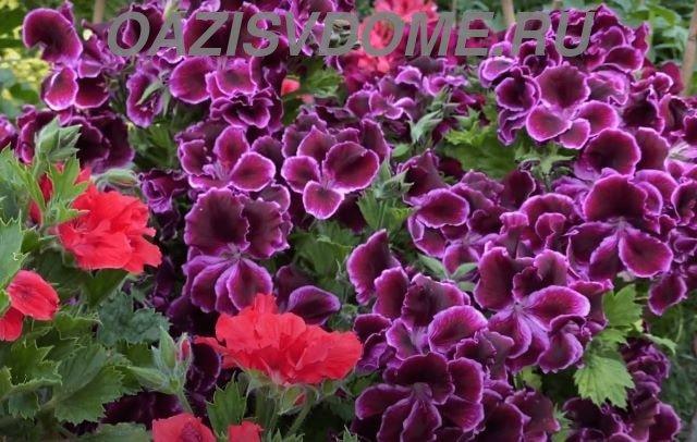 Цветущая в саду пеларгония