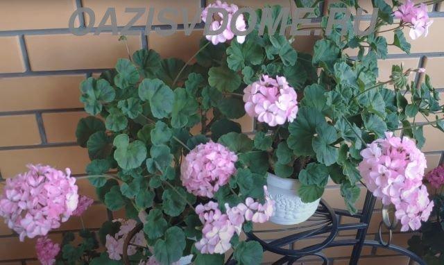 Цветущая пеларгония в вазонах