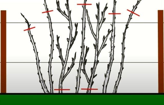 На фото схема осенней обрезки малины