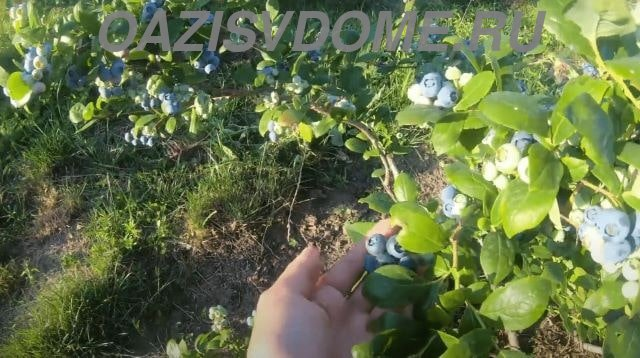 Голубика во время созревания ягод