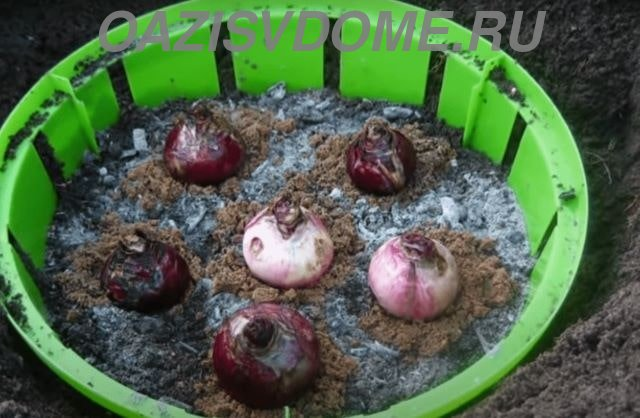 Посадка луковиц гиацинтов в открытый грунт