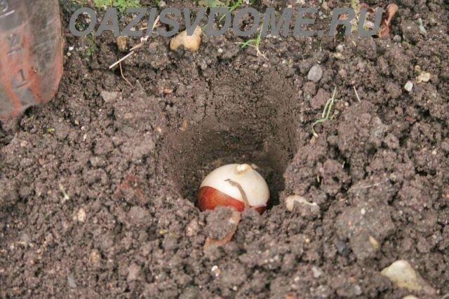 Посаженная луковица тюльпана