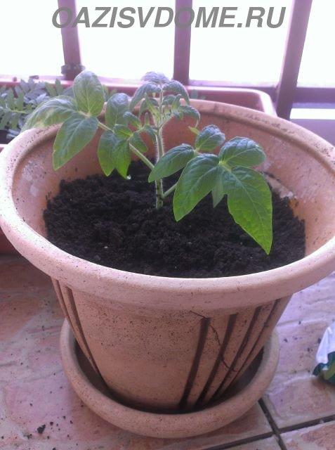 Куст помидора после пересадки в горшок