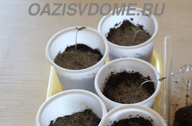 Всходы рассады томатов в стаканах