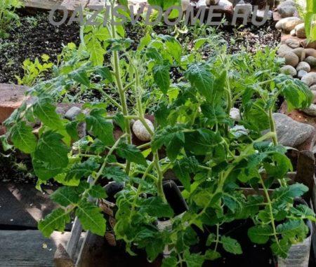 Сроки и правила высадки томатов в открытый грунт