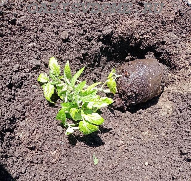 Высадка саженца томата в лунку
