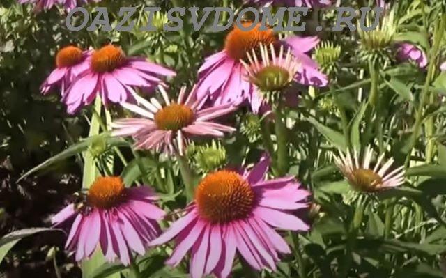 Цветение эхинацеи в саду
