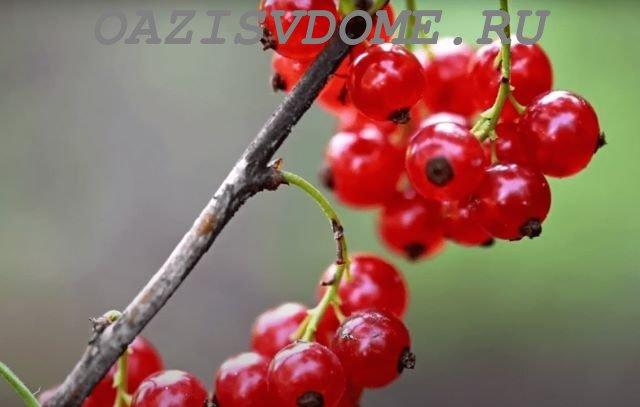 Болезни красной смородины