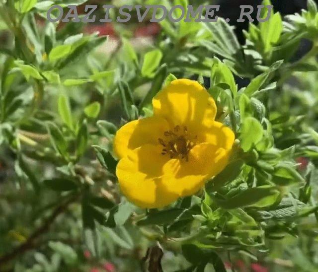 Цветок лапчатки (курильского чая)