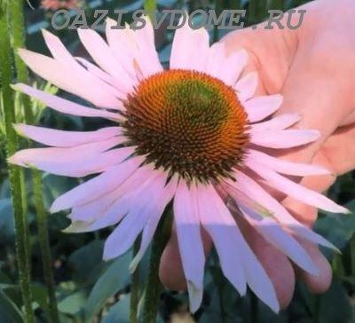 Полезные свойства цветка эхинацея