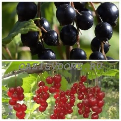 Уход за кустами смородины после плодоношения