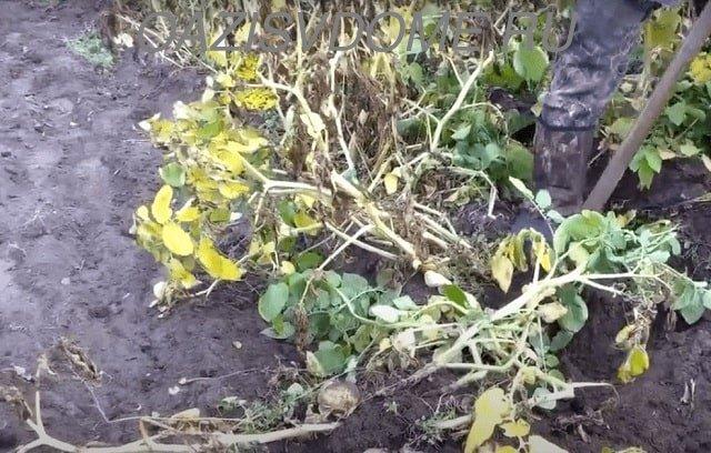 Выкопка созревшего картофеля