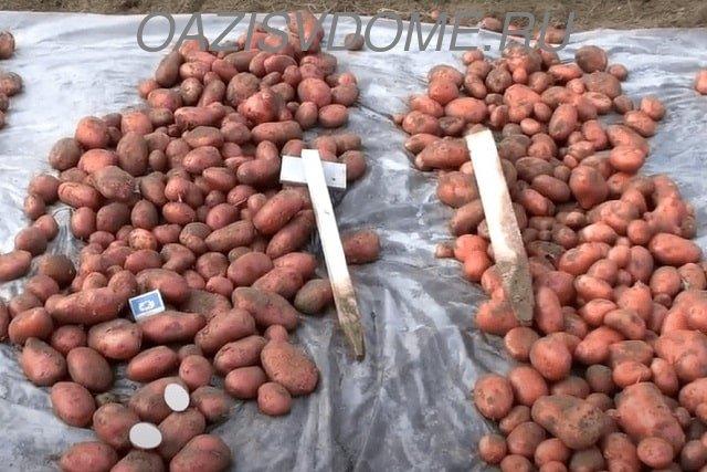 Урожай картошки после уборки