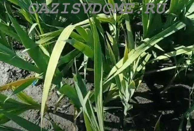 Гладиолусы после цветения