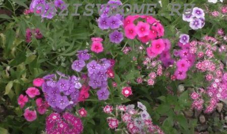 Чем покормить флоксы летом во время цветения