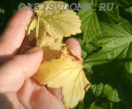 Что делать, если желтеют листья на смородине