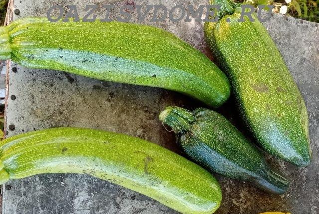 Собранный урожая плодов кабачков