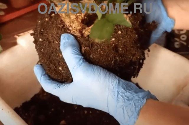 Перевалка цветка декабрист в новый горшок