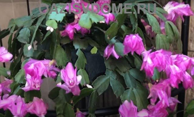Цветок декабрист во время цветения