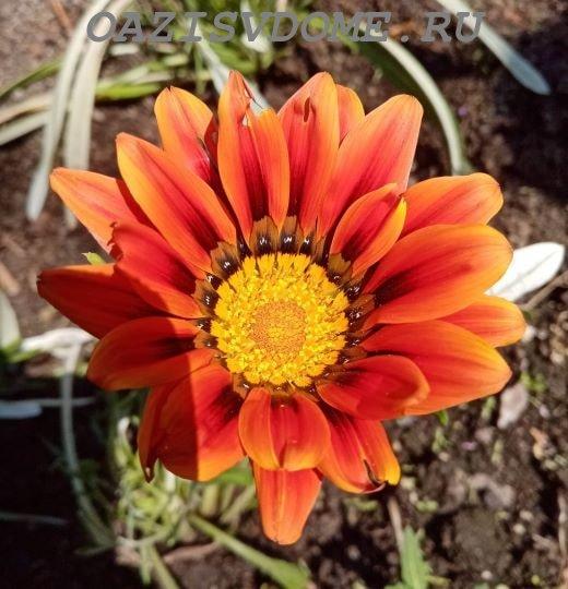 Распустившийся цветок гацании