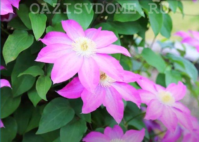 Клематисы цветение