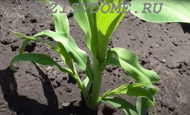 Куст кукурузы с отростками