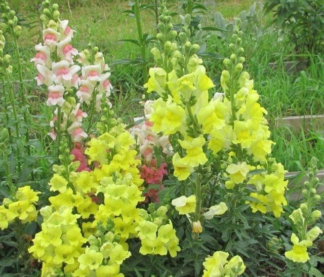 Цветник с цветущим львиным зевом