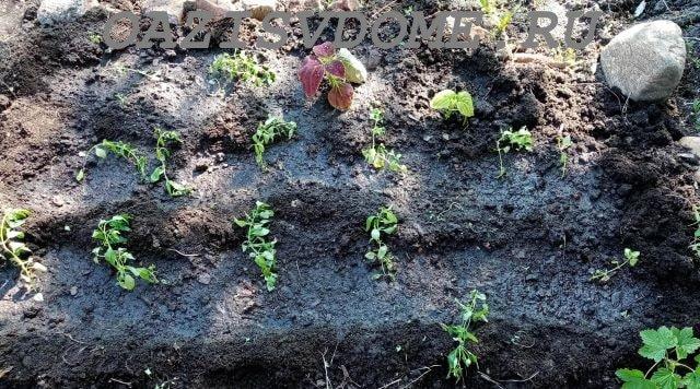 Рассада львиного зева после высадки в грунт