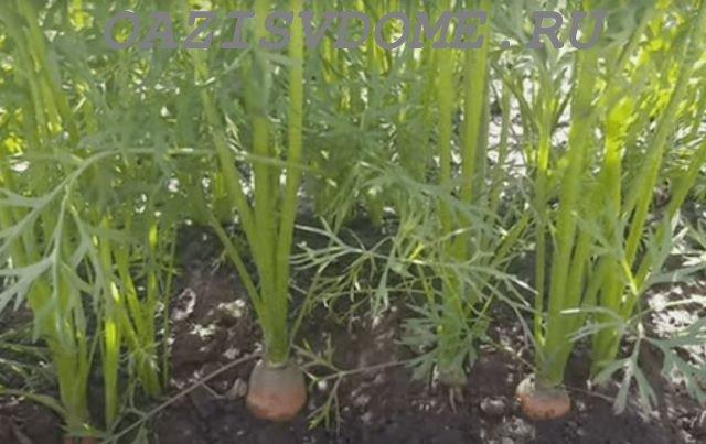 Морковка на грядке в огороде