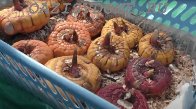 Проращивание луковиц гладиолусов в опилках