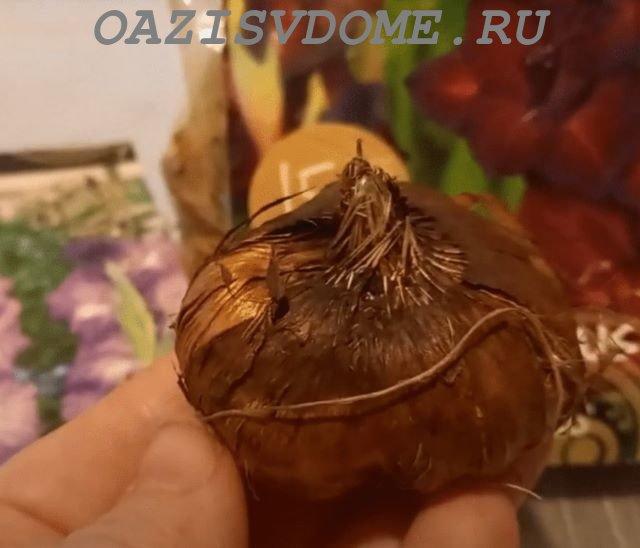 Луковица гладиолуса из магазина