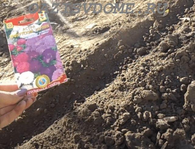 Посев семян астры в открытый грунт