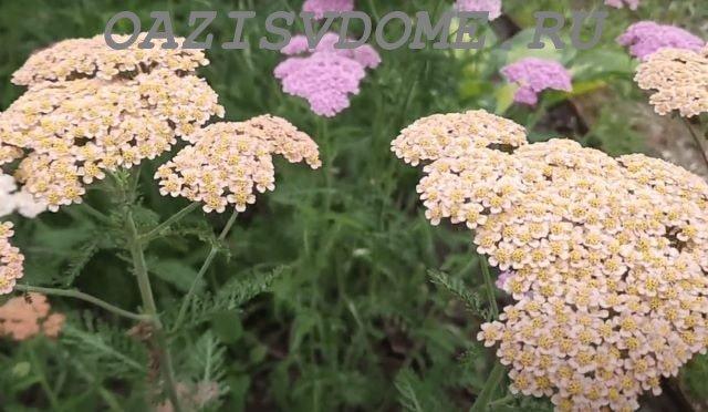 Растение тысячелистник в саду