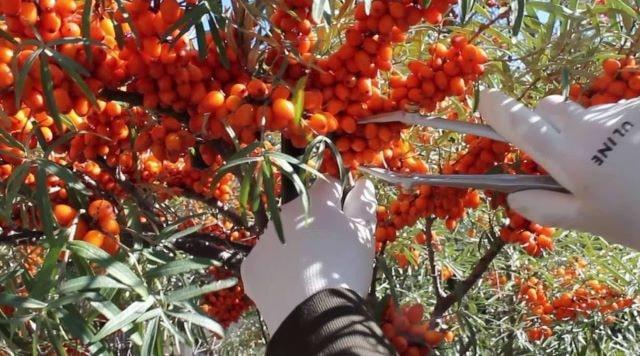 Рогатка с леской для сбора урожая облепихи