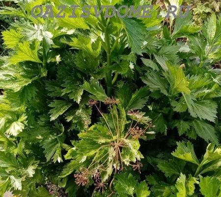 Выращивание листового сельдерея через рассаду