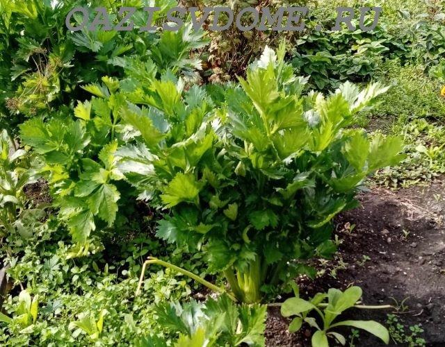 Сельдерей листовой на грядке