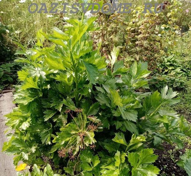 Сельдерей листовой в огороде