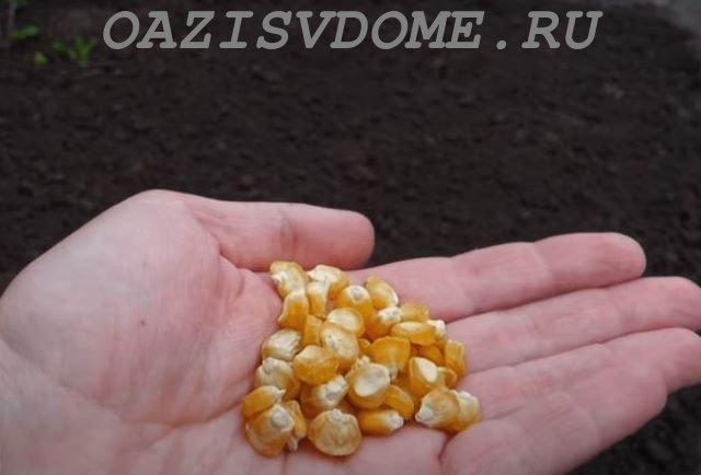 Семена кукурузы перед посевом