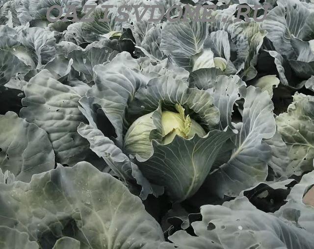 Поле с белокочанной капустой