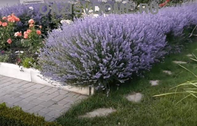 Цветение кустарника лаванды на даче