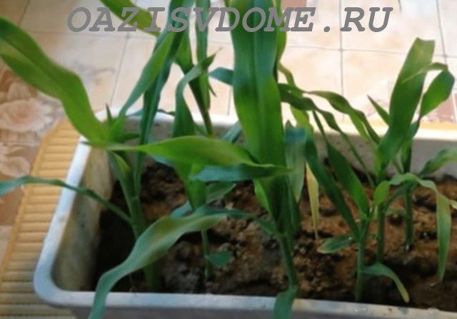 Рассада кукурузы в ящике