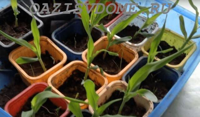 Подросшая рассаду кукурузы